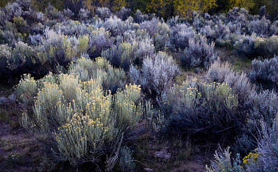 Photograph - Twilight Sage by Morris  McClung