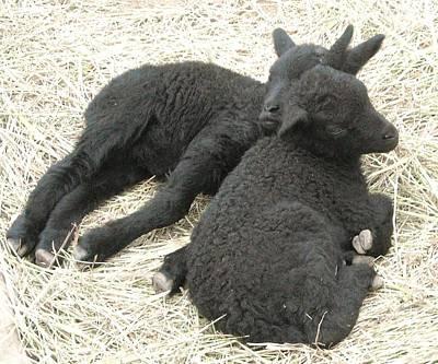 Twin Black Lambs Art Print by Cathy Long