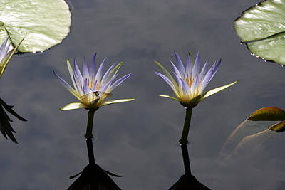 Photograph - Twin Blue Egyptian Lotus Waterlilies And Dragonfly by Byron Varvarigos