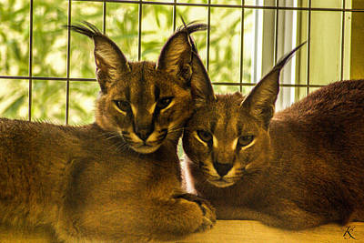 Twin Caracals Art Print by Kelly Smith