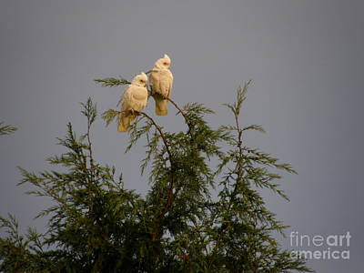 Twin Cockatoos Art Print by Bev Conover