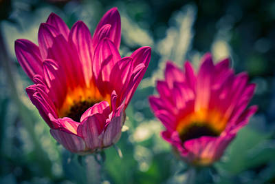 Photograph - Twin Daisies  by Priya Ghose