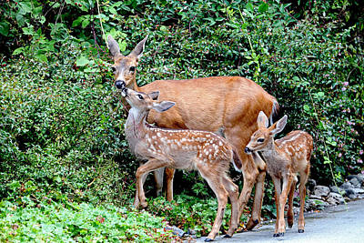Photograph - Twin Fawns And Mother Deer by Peggy Collins