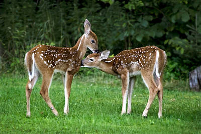 Photograph - Twin Fawns by Christina Rollo