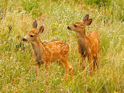 Photograph - Twin Fawns by Dan Miller