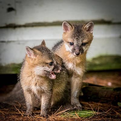 Twin Fox Kits Print by Paul Freidlund