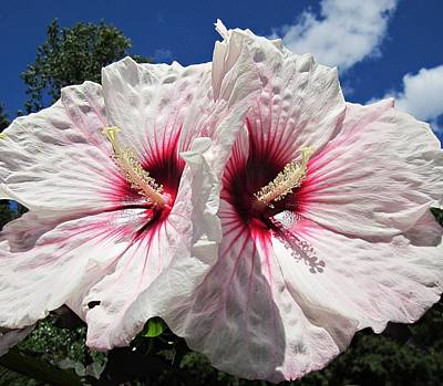 Photograph - Twin Hibiscus Flowers by MTBobbins Photography