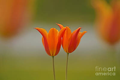 Photograph - Twin Tulips by Joshua McCullough