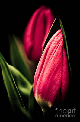 Twin Tulips Print by Venetta Archer