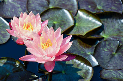 Crystal Wightman Rights Managed Images - Two Pink Waterlilies Royalty-Free Image by Crystal Wightman