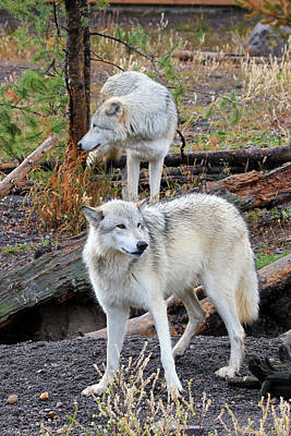 Art Print featuring the photograph Twin Wolves by Athena Mckinzie