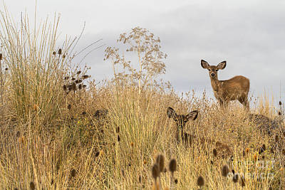 Twin Fawns Photograph - Twin Yearlings by Randy Wood