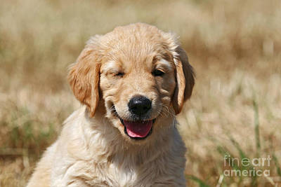 Photograph - Twinkling Golden Retriever Puppy by Dog Photos