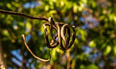 Tendrils Photograph - Twirling Vine Tendril by Douglas Barnett