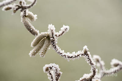 Twisted Frost Art Print by Anne Gilbert