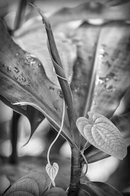 Photograph - Twisted Hearts - Bw by Carolyn Marshall
