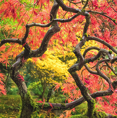 Photograph - Twisted Maple by Kyle Wasielewski