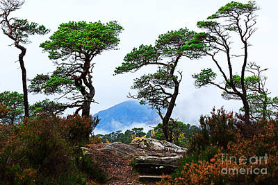 Glen Affric Photograph - Twisted Pines In Glen Affric by Louise Heusinkveld