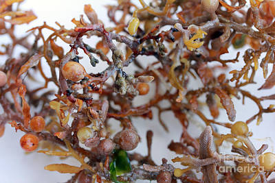 Photograph - Twisted Seaweed by Mary Haber