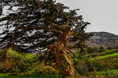 Photograph - Twisted Tree At Kylemore Abbey by Marilyn Burton