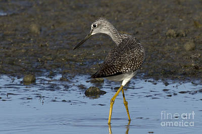 Photograph - Twisting Lesser Yellowlegs by Meg Rousher