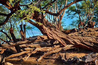 Photograph - Twisting Trees by Omaste Witkowski