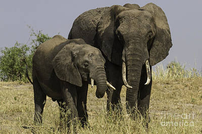 Photograph - Two African Elephants by Chris Scroggins