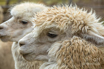 Photograph - Two Alpaca Heads by Patricia Hofmeester