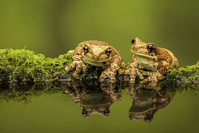 Two Amazon Milk Frogs Art Print by Markbridger