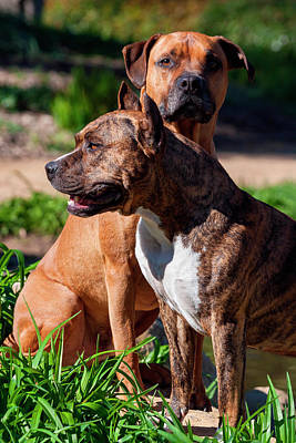 American Shorthair Photograph - Two American Staffordshire (mr by Zandria Muench Beraldo