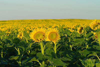 Sunflowers Royalty-Free and Rights-Managed Images - Two Among the many by Jeff Swan