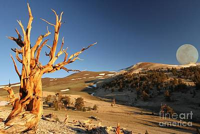 Oldest Living Tree Photograph - Two Ancients by Adam Jewell