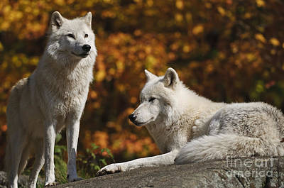 Print featuring the photograph Two Arctic Wolves On Rock Hill by Wolves Only