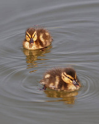 Photograph - Two Baby Ducklings by Gill Billington