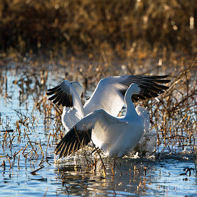 Photograph - Two Backlit Snow Geese by Martha Marks