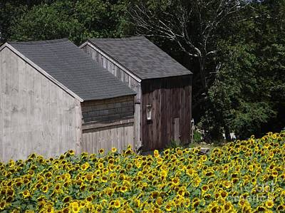 Photograph - Two Barns In A Sunflower Field by Michelle Welles
