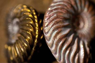 Pyrite Photograph - Two Beautiful Jurassic Ammonites by Paul D Stewart