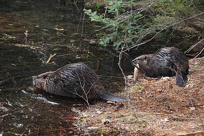 Photograph - Two Beavers by Paul Miller