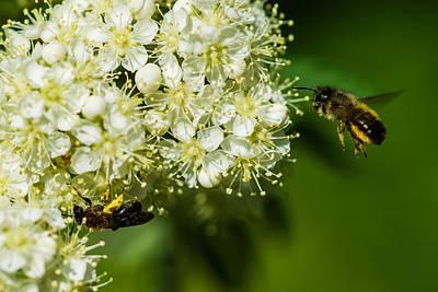 Two Bees On A Rowan Truss - Featured 3 Art Print by Alexander Senin