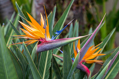 Photograph - Two Birds Of Paradise by Pierre Leclerc Photography