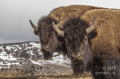 Photograph - Two Bison by Gary Beeler