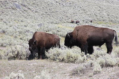 Photograph - Two Bison by Robin Maria Pedrero