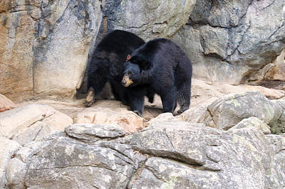 Two Black Bears Pacing By Den Original