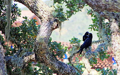 Photograph - Two Black Birds In The Old Oak Tree by AJ  Schibig