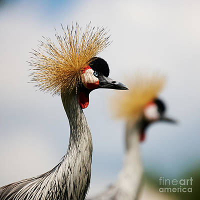 Photograph - Two Black Crowned Cranes by Nick  Biemans