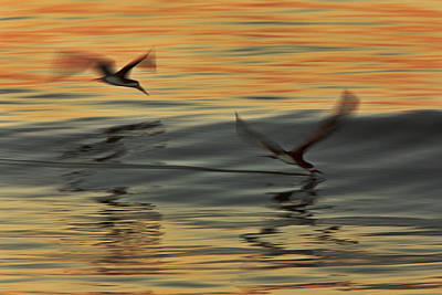 Photograph - Two Black Skimmers  Mg9159 by David Orias
