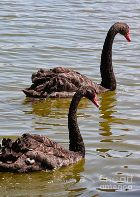 Photograph - Two Black Swans Swimming by Carol Groenen