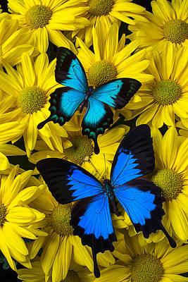 Gardening Photograph - Two Blue Butterflies by Garry Gay