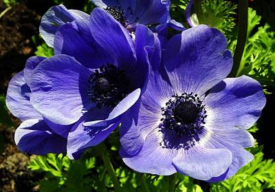 Anemone Photograph - Two Blue Mauve Anemone Close Up Windflowers  by Tracey Harrington-Simpson