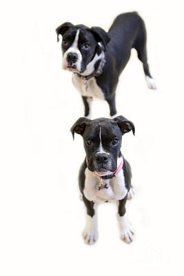 Photograph - Two Boxers by Rebecca Cozart